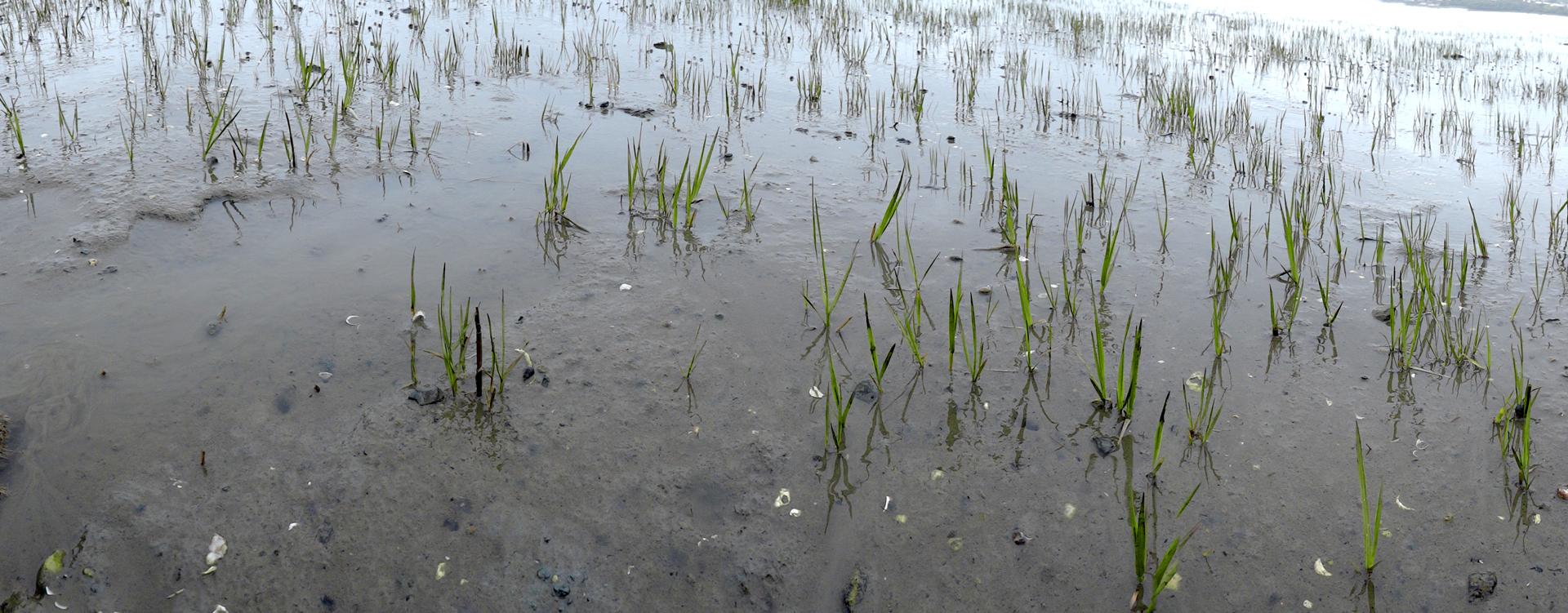 GRLT_hayfields_052113_05834_low tide stubble