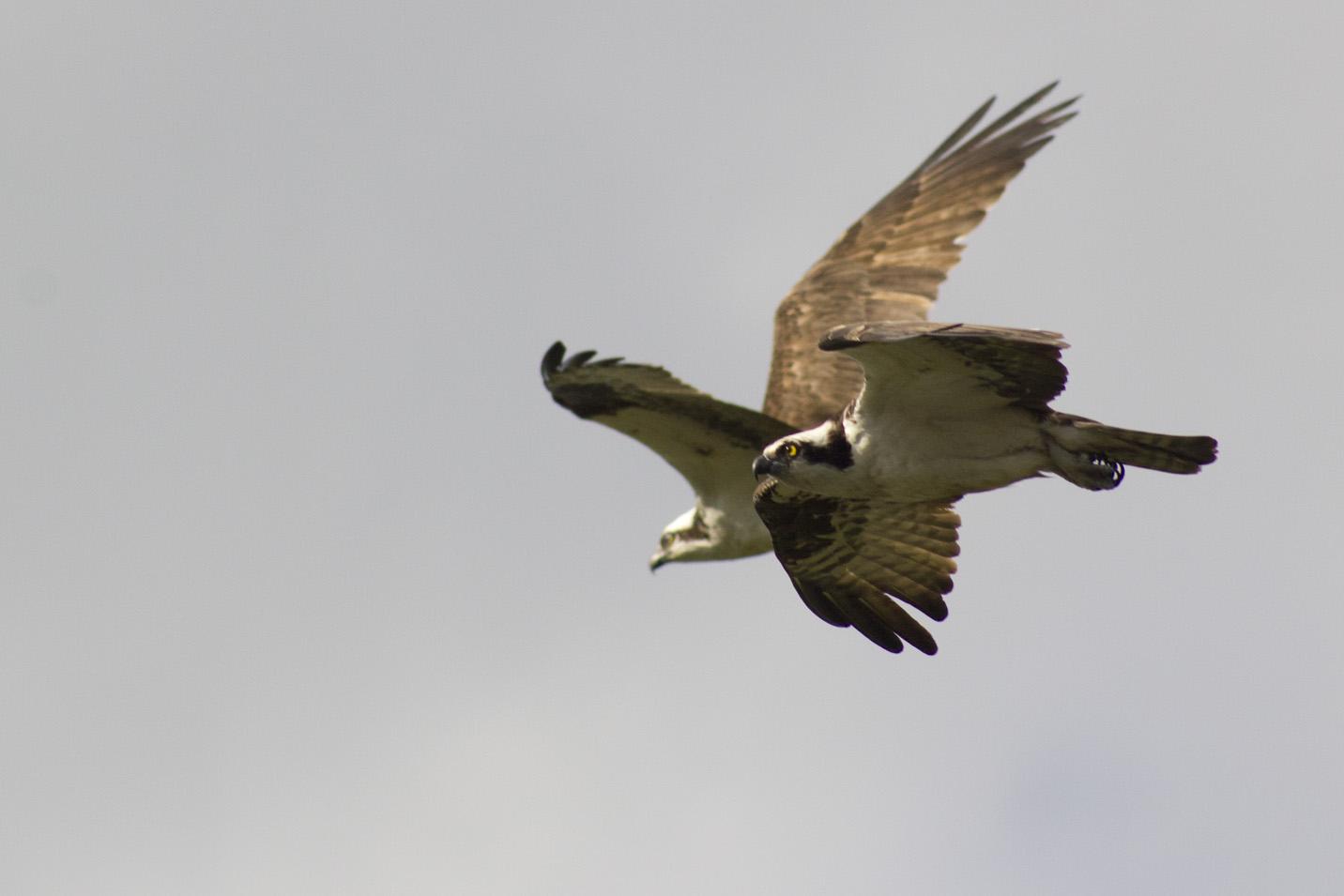 GRLT_Ospreys