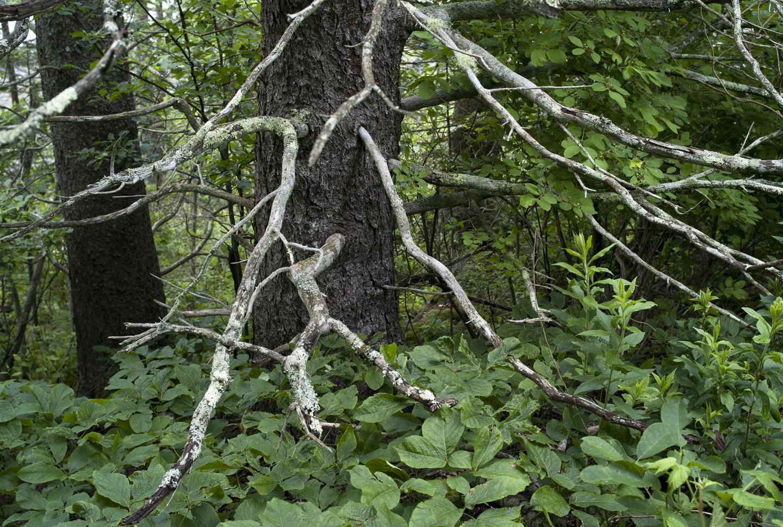 Ash Pt_GRLT_web_062713_M8_Ash Pt_28331_dead branches
