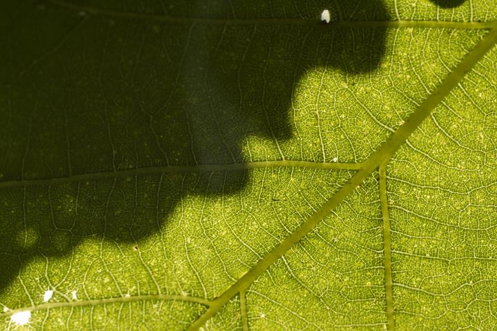 GRLT_091713_Eagles Way_4897_Wh oak leaves CU