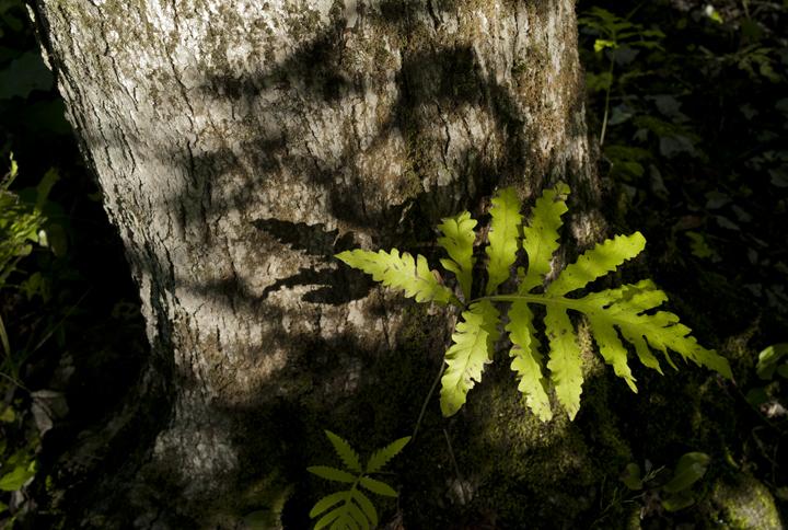 GRLT_091713_M8_Eagles Way_30233_maple trunk-fern