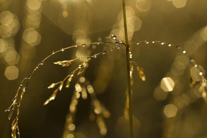 GRLT_091813_Hayfields_4926_grasses-dew