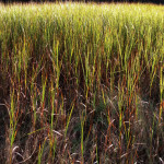 iPhone_091513_Trolley Marsh grasses_IMG_4233