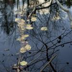 GRLT_M8_101813_Gibson-N_31289_alder tree-river