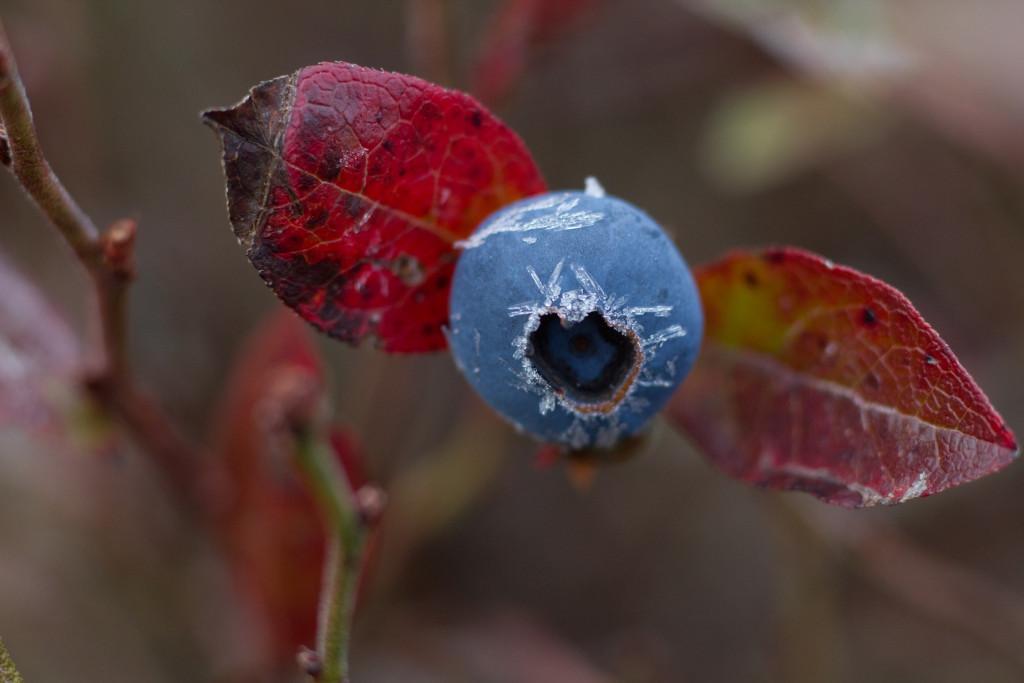 GRLT_T2i_103013_Pitman_0055_late blueberry